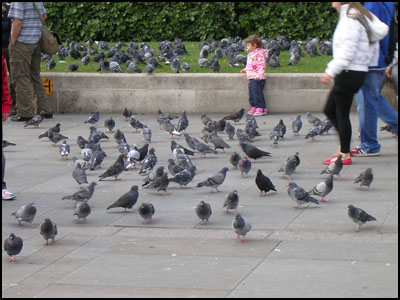a lot of pigeons in London